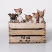 Photo Chiots Chihuahua